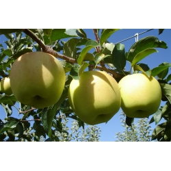 Golden Smothe  Bodur Elma Fidanı