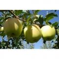 Golden Smothe Yarı Bodur Elma Fidanı