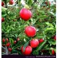 Elma Fidanı-Mondial Gala Bodur elma