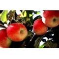 Amasya Elma Fidanı Yarı Bodur