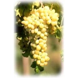 Hesabalı (Müşküle) Beyaz Çekirdekli Üzüm Fidanı