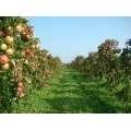 Yarı Bodur Elma Fidanı